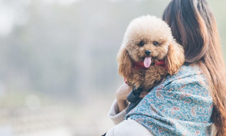 toy-poodle-playing-with-its-female-master